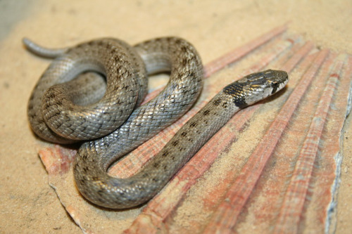 False Smooth Snake Spain