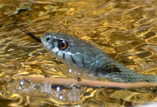 Montpellier Snake Spain