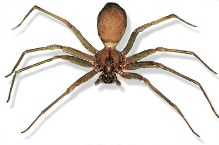 Brown Recluse Spider Spain