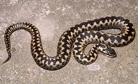 Den Adder Snake Spain