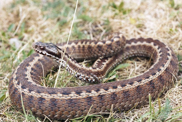 List Of Car Types >> Dangerous Poisonous Snakes in Spain | Rent a Car Best Price
